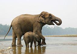 Discussion sur l'Etoile du 20 février   2021 - Page 3 255px-Elephant_mother_and_calf_-_chitwan