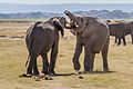 Elephants fight Amboseli (7234358288) (2).jpg