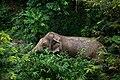 Elephas maximus indicus, Indian elephant - Kaeng Krachan National Park (26984057650).jpg