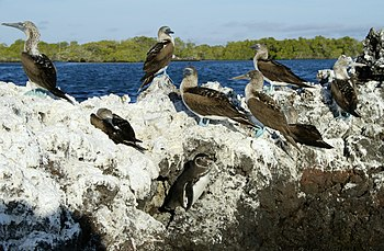 English: Galapagos Penguins and Blue-footed Bo...