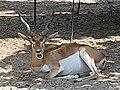Em - Antilope cervicapra - 3.jpg