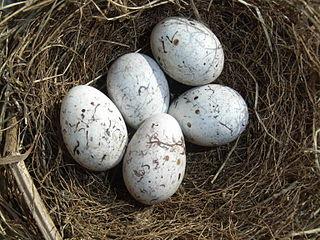Strnádka žltá (syn. s. obyčajná) (Emberiza citrinella) - vajíčka