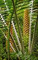 Encephalartos Villosus Male Cone in Teplice Botanical Garden.jpg