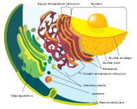 Endomembrane system diagram en.svg