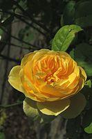 Englische Rosen ´Graham Thomas´.jpg