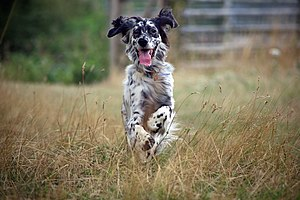 English Setter -  An English Setter in action, pursuing a bird.