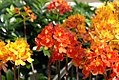 Epidendrum Crystal Valley Orange Ball 0zz.jpg