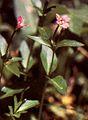 Epilobiumglaberrimum.jpg