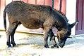 Equus asinus 5zz.jpg
