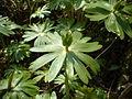 Eranthis hyemalis fruit.jpg