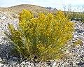 Ericameria paniculata 1.jpg