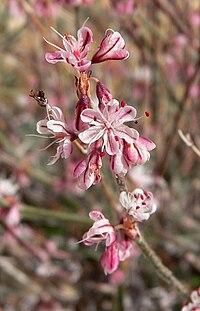 Eriogonum wrightii var wrightii 9