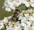 Eristalis arbustorum (female) - Flickr - S. Rae.jpg