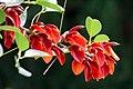 Erythrina crista-galli flowers.jpg