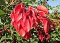 Erythrina crista-galli kz01.jpg