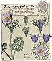 Etude de la plante - p.245 fig.295 - Anémone pulsatille.jpg