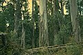 Eucalyptus brookeriana.jpg
