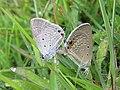 Euchrysops cnejus Fabricius, 1798 – Gram Blue mating at Madayippara (14).jpg