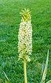 Eucomis pole-evansii. Familie Asparagaceae. (d.j.b.) Locatie, Tuinreservaat Jonkervallei 01.jpg