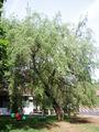 EuonymusBungeanus7.jpg