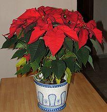 Poinsettia Simple English Wikipedia The Free Encyclopedia