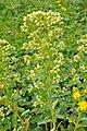 Euphorbia salicifolia ტირიფისფოთოლა რძიანა.JPG