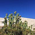 Euphorbia with fruits (16614673205).jpg