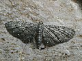Eupithecia tripunctaria - White-spotted pug (42781799151).jpg
