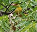 Eurasian Golden Oriole (Oriolus oriolus)- Female on nest W IMG 9559.jpg