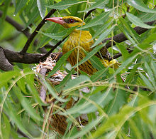 Eurasian Golden Oriole (Oriolus oriolus)- Female on nest W IMG 9559.jpg