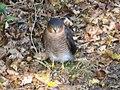 Eurasian Sparrowhawk, Wantage, Oxfordshire.jpg