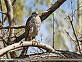 Eurasian Sparrowhawk (Accipiter nisus) (34779311480).jpg