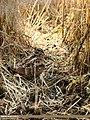 Eurasian Woodcock (Scolopax rusticola) (39661000381).jpg