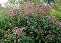 Eutrochium maculatum kz1.jpg