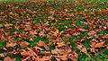Fallen leaves on green grass.JPG