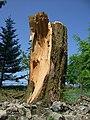 Fallen tree - geograph.org.uk - 1087087.jpg