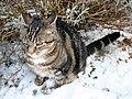 Felis silvestris catus (Berlioz)6.JPG