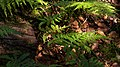 Ferns at the bottom of Gullmarsskogen ravine 2.jpg
