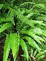 Ferns in Moor Wood - geograph.org.uk - 1719556.jpg