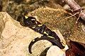 Feuersalamander (Salamandra salamandra) 2.jpg