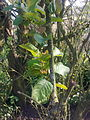 Feuilles d'un arbre non-identifié à Grez-Doiceau 001.jpg