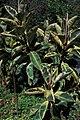Ficus elastica-01.jpg