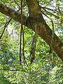 Ficus krishnae-Jardin botanique de Kandy (3).jpg