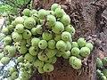 Ficus racemosa fruits at Makutta (2).jpg