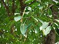 Ficus tsjahela (5594990355).jpg