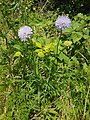 Field scabious early flowers, stems and leaves.jpg