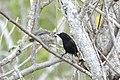 Finch feeding (33936527318).jpg