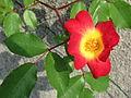Fiore rampicante.JPG