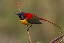 Fire-tailed-Sunbird East Sikkim India 12.05.2014.jpg