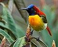 Fire Tailed Sunbird at Singalila.jpg